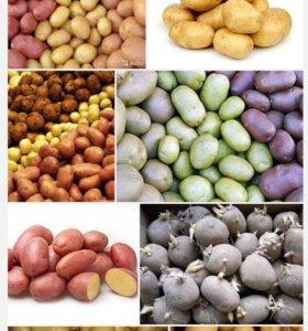 Картофель семенной (6 ведер)