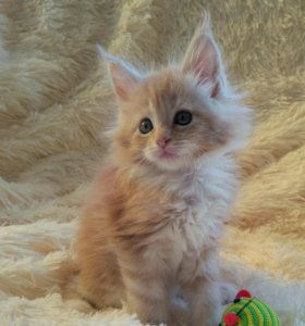 Чистопородные котята Мейн-кун