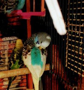 Волнистый попугай,самка.