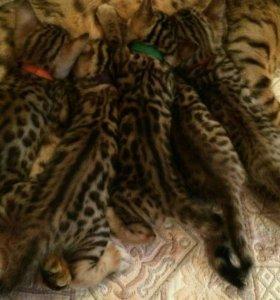 Бенгалы Бенгальские котята с док в рассрочку