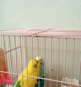 2 волнистых попугая