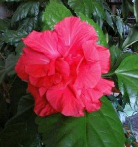 ГИБИСКУС (Китайская роза)с бутонами