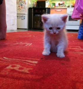 Отдам котика от персидской кошки мальчик