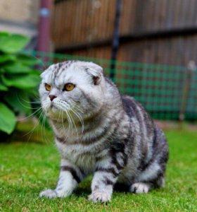 Вязка.Шотландский вислоухий кот мраморного окраса