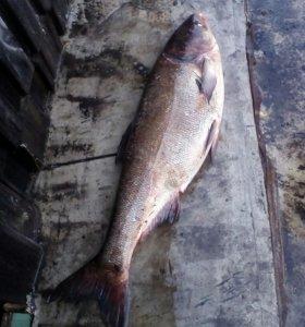Рыба толстолобик.