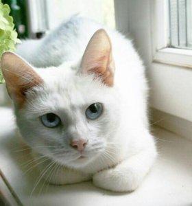 Котята от сибирской голубоглазой кошки
