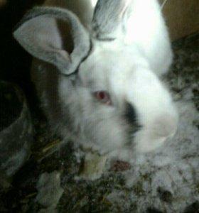 Кролики Калифорнийский