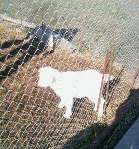 Продам овцу ягнят и козу.