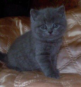 Продам котёнка британского