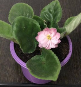 Листик Фиалка розовая махровая