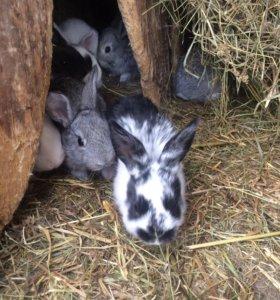 Кролики домашние 6 мес