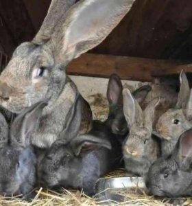 Продам крольчат на племя в возрасте от 2 месяцев