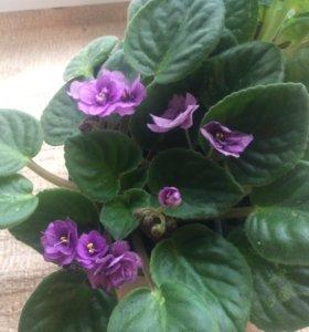 Фиалка взрослая фиолетовая
