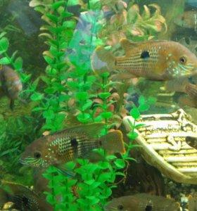 Аквариумные рыбки. Бирюзовая акара