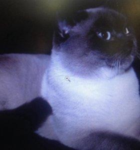 Кот шотландец прямоухий