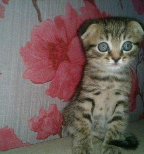 Вислоухие котята.