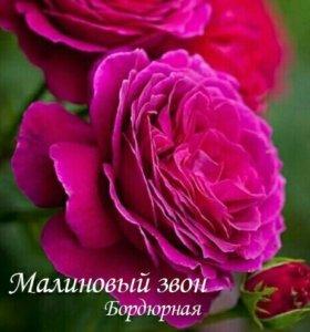 Посадочный материал роз