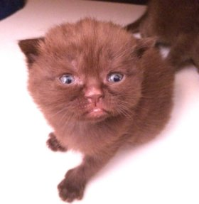Шотландские котята 😻