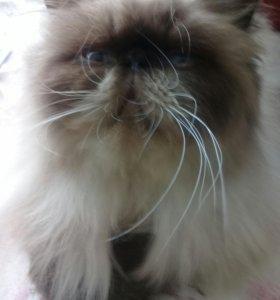 Гималайский котик, год
