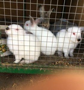 Кролики ( калифорнийцы)