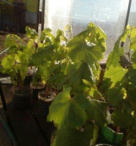 Рассада виноград дамский пальчик