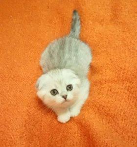 Шотландский вислоухий котёнок
