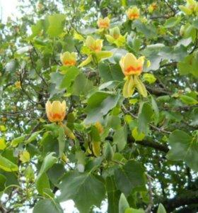 Саженцы тюльпанового дерева