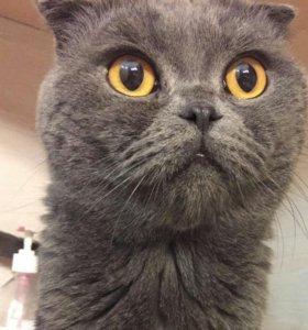 Вязка. Вислоухий британский кот