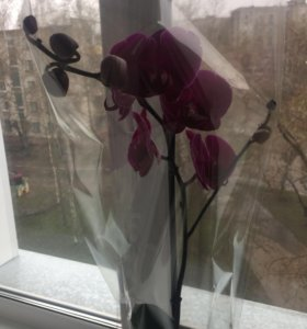 Орхидея в наличии