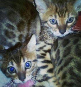 Котята—бенгалята
