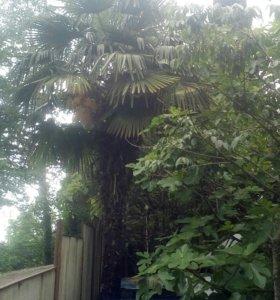 Пальма большая пушистая