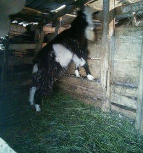 Продаю баранов и коз
