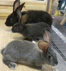 Кролики породы Серебро 2 месяца