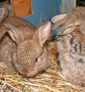 Кролики на доращивание.