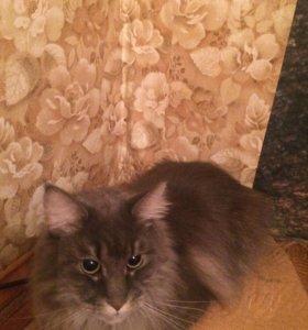 Кошечка Матильда (Мейн-кун)
