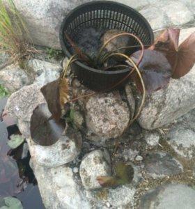 Водяная лилия (нимфея )