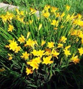 Лилейник душистый желтый