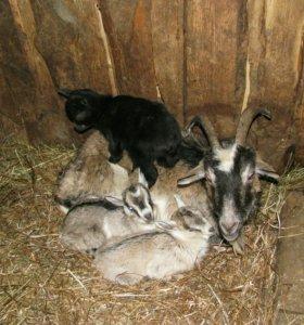 Коза с козленком (4 месяца)
