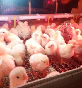 Цыплята бройлеры + Яйцо от 30р. Несушки