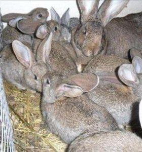 Кролики от хороших производителей фландр