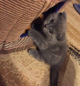 Вислоухий шотландский котик