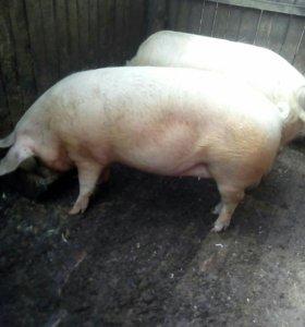 Домашняя свинина тушей