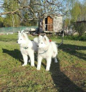 Красивые щенки самоеда