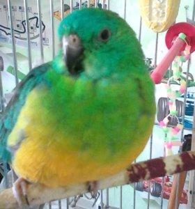 Пара певчих попугаев.