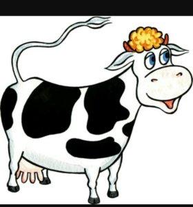 Корова 1 оттёл