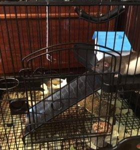 Крыса Дамбо с клеткой
