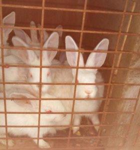 Кролики двухмесячные