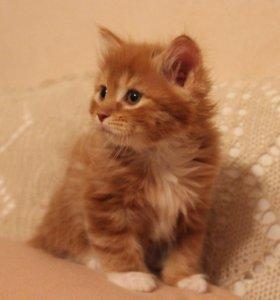 Породистые котята из питомника