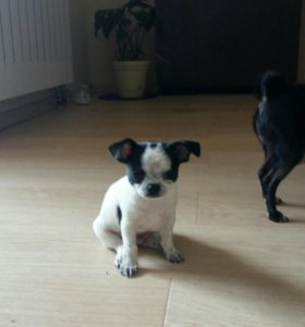 Чихуа щенок
