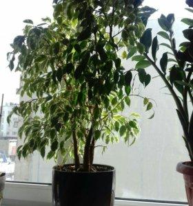 Цветок (дерево) семейства фикусовых